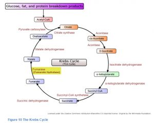 HLRCC Science_Krebs Cycle